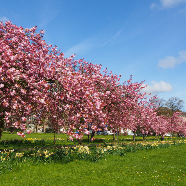 """""""Cherry blossom on the Prunus trees in spring on The Stray in Ha"""" stock image"""