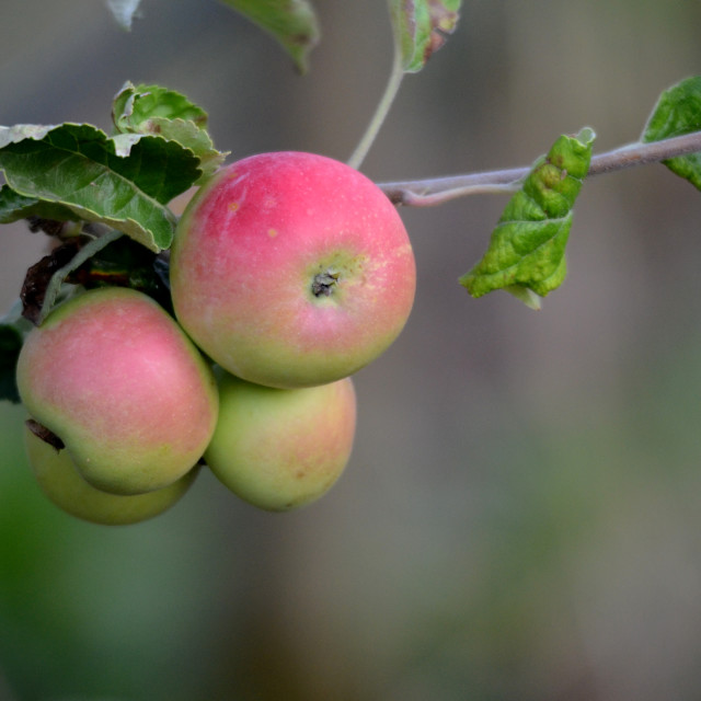 """""""Apples on a branch ready to be harvested"""" stock image"""