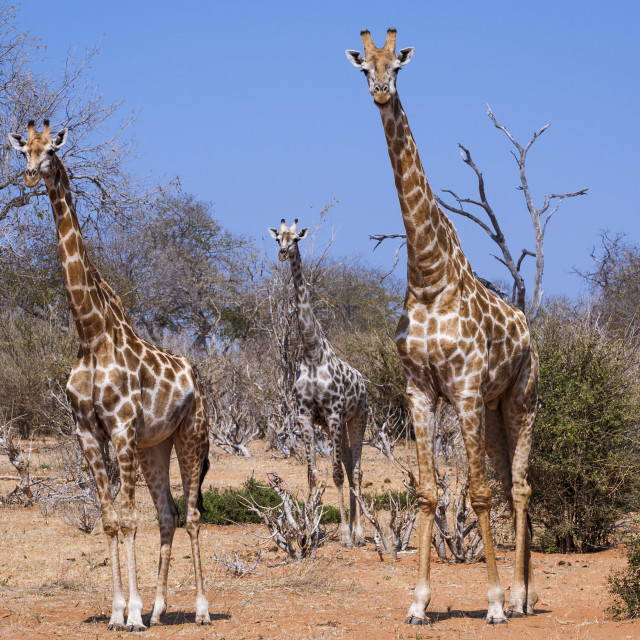 """Three giraffes in the Chobe National Park in Botswana, Africa; Concept for travel in Africa and Safari"" stock image"