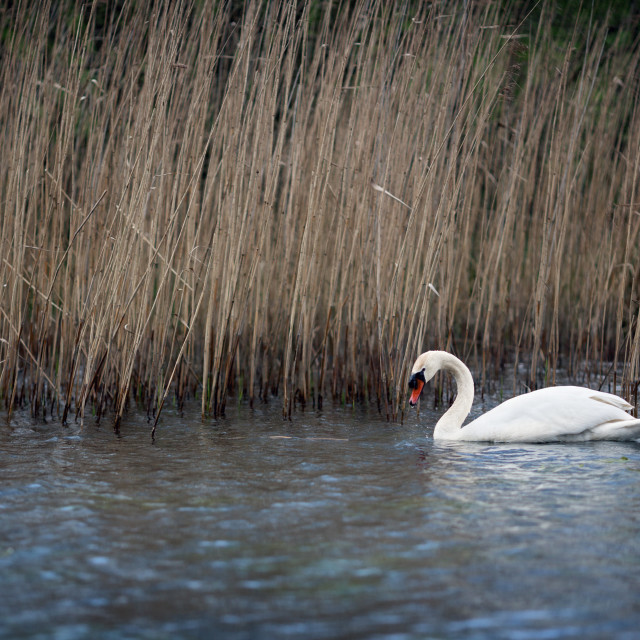 """Swan on the Lake"" stock image"