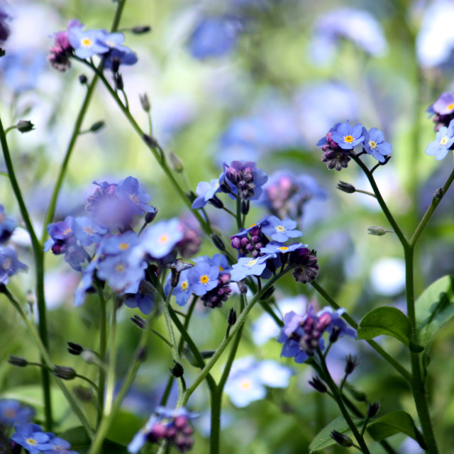 """Forget-me-not 1"" stock image"