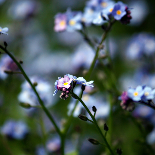 """Forget-me-not 3"" stock image"