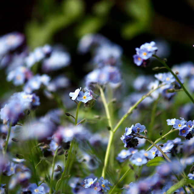 """Forget-me-not 2"" stock image"