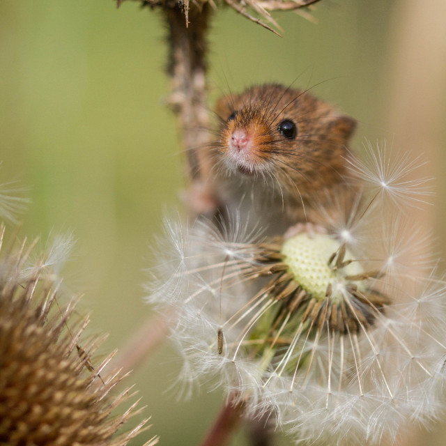 """Dandelion seed mouse"" stock image"