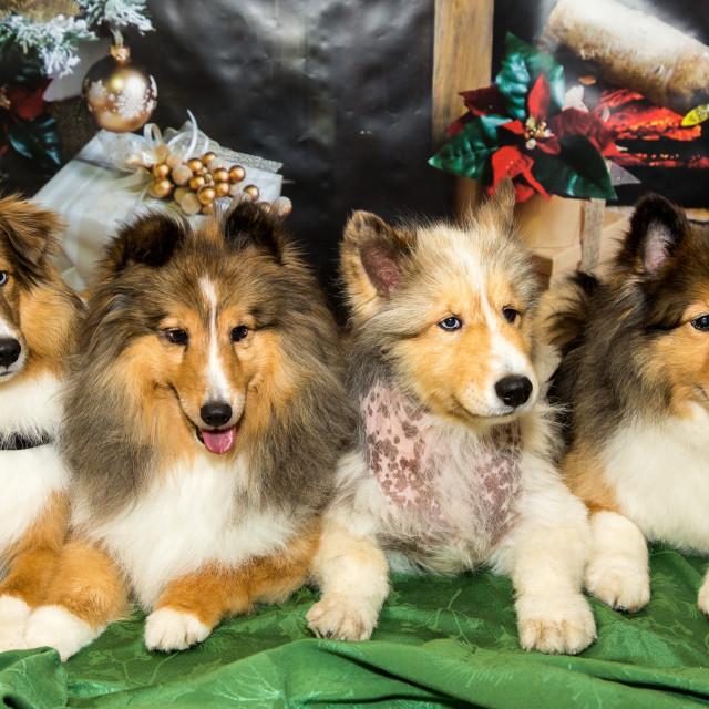 """Christmas Shelties"" stock image"