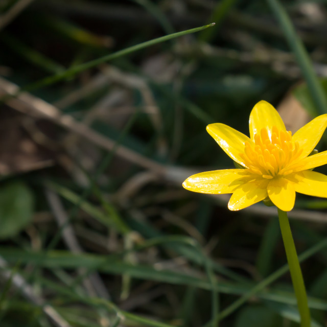 """""""Lesser Celandine with Copy Space"""" stock image"""