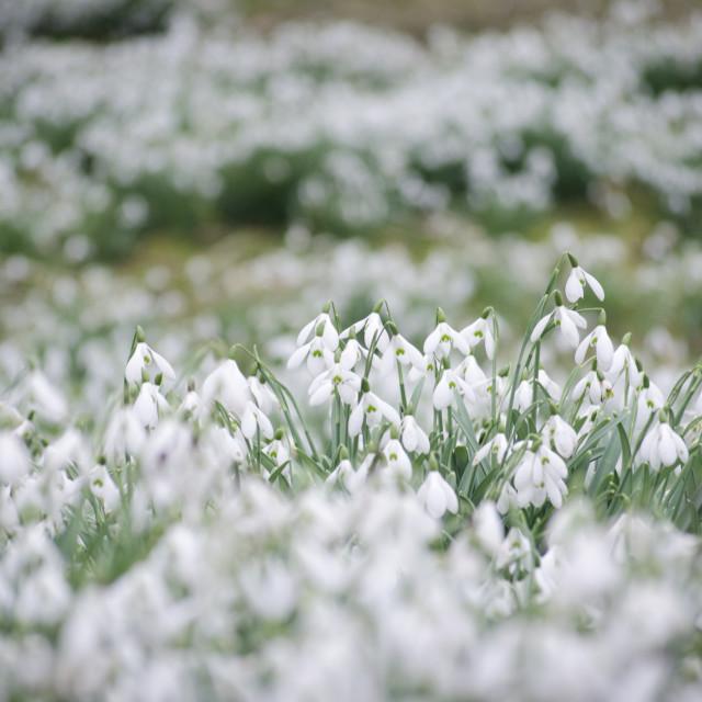 """Snowdrops"" stock image"