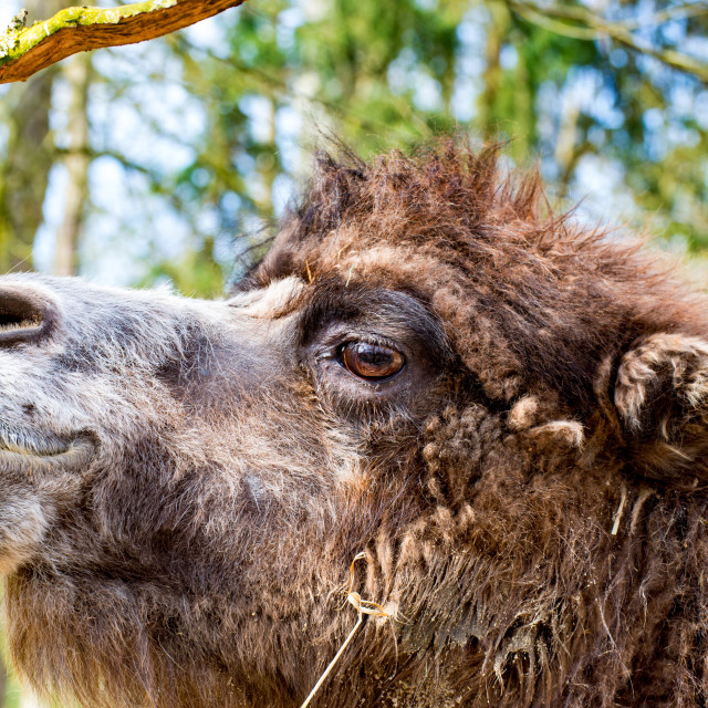 """Camel in profile with slightly open mouth"" stock image"