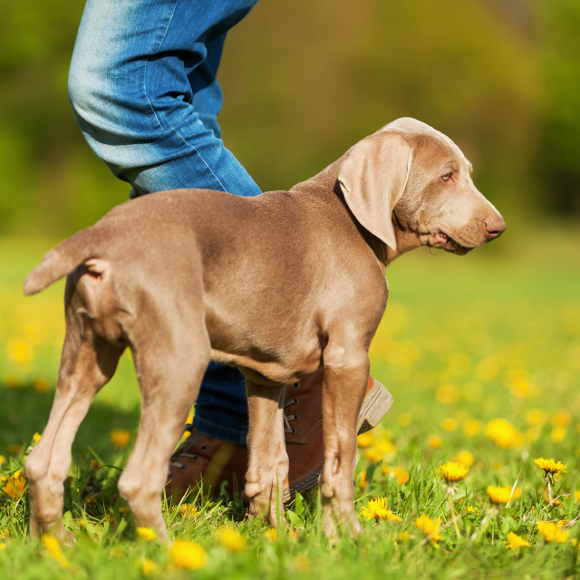 """""""woman with Weimaraner puppy"""" stock image"""