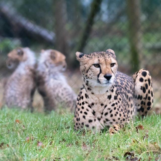 """Cheetah family"" stock image"