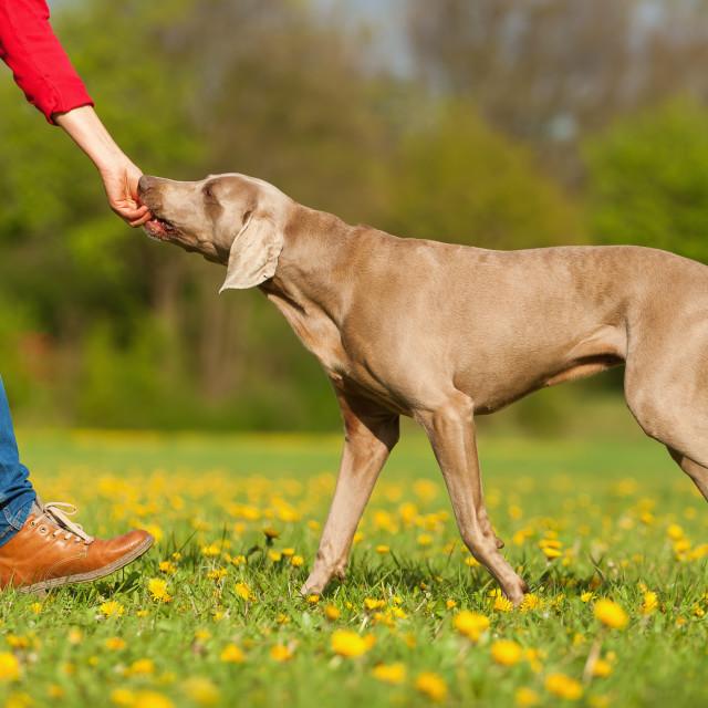 """woman with Weimaraner dog"" stock image"