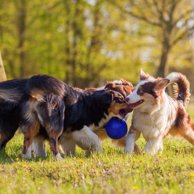 """Australian Shepherd dogs with a ball"" stock image"