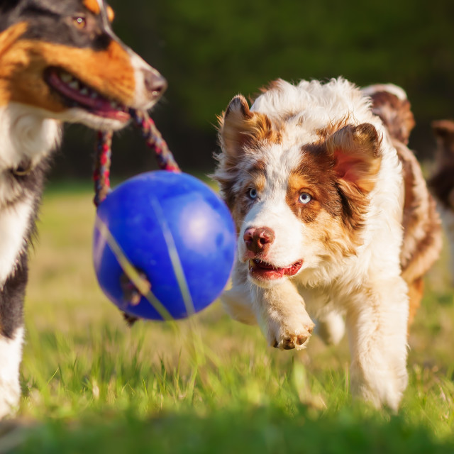 """""""Australian Shepherd dogs playing outdoor"""" stock image"""