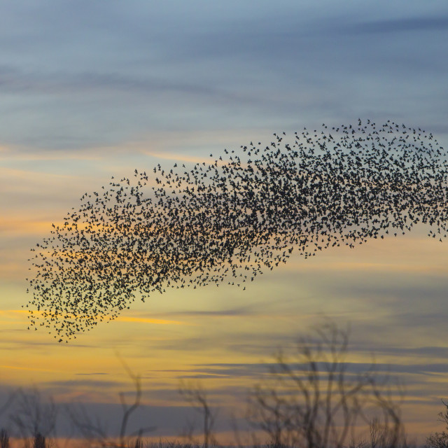 """Starling Murmuration Dicot OxfordshireStarling Murmuration Didcot Oxfordshire"" stock image"