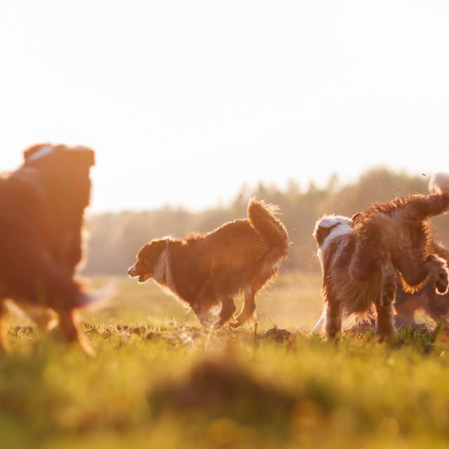 """""""pack of running Australian Shepherd dogs"""" stock image"""