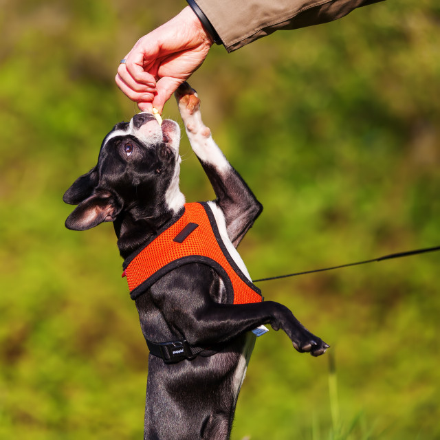 """""""Boston Terrier gets a treat"""" stock image"""