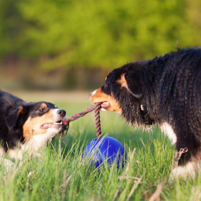 """""""playing Australian Shepherd dogs"""" stock image"""