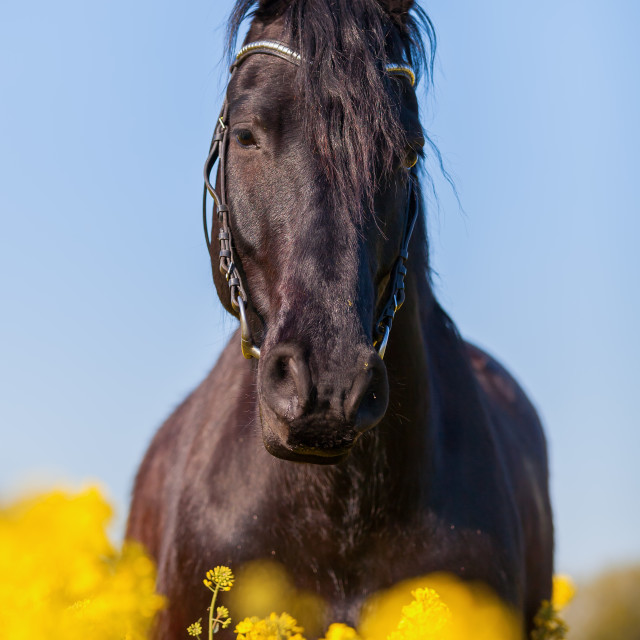 """Friesian horse in a rape field"" stock image"