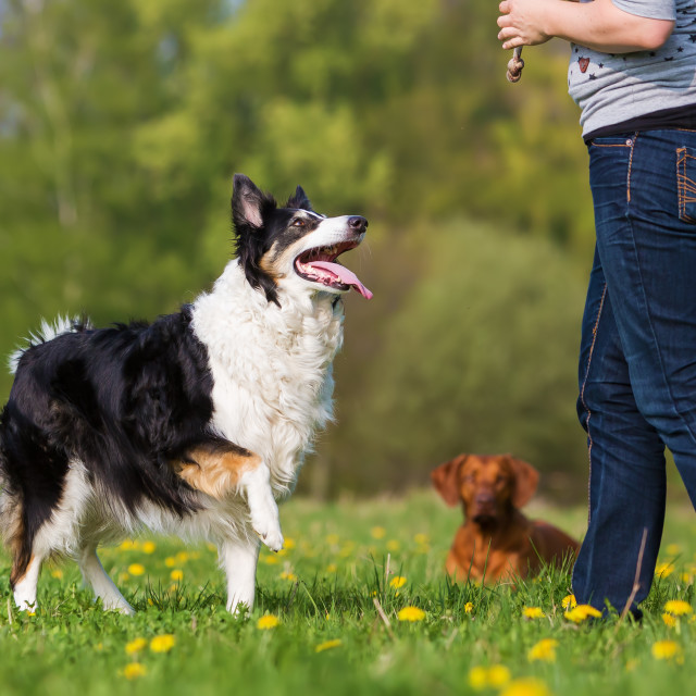 """woman with Border Collie"" stock image"