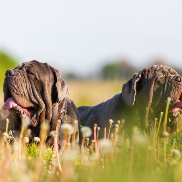 """Neapolitan Mastiff dogs outdoors"" stock image"