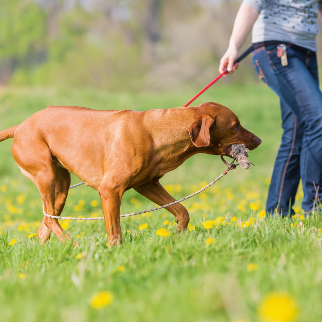 """woman playing with Rhodesian ridgeback"" stock image"