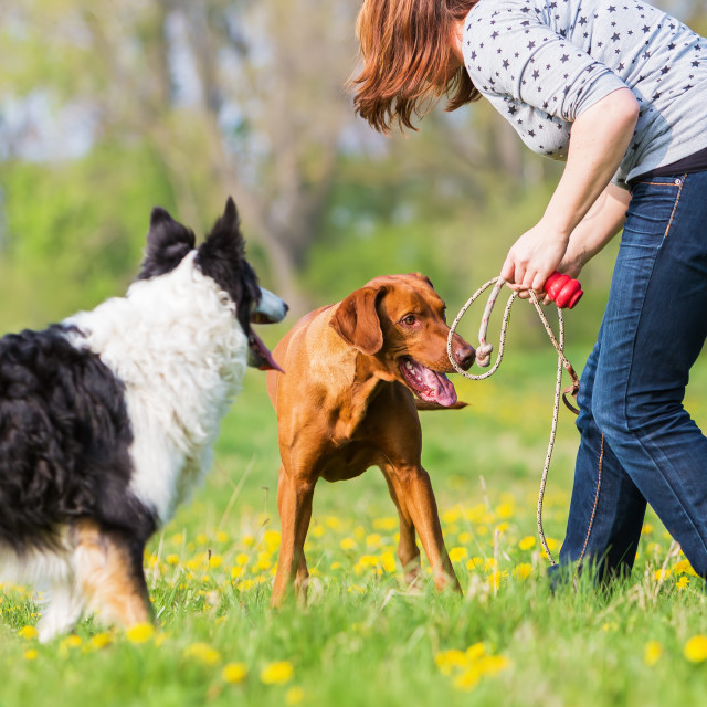"""woman playing with dogs"" stock image"