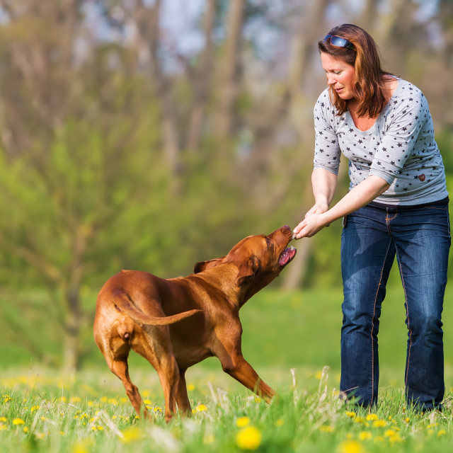"""woman plays with Rhodesian ridgeback"" stock image"