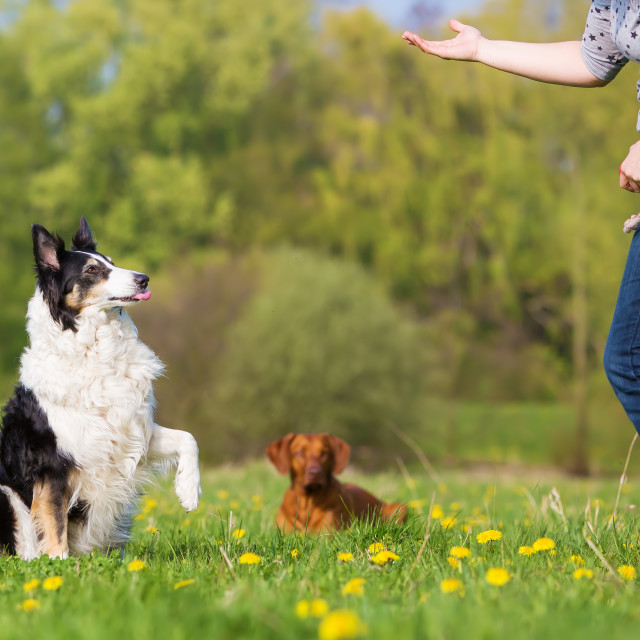 """woman trains with Border Collie"" stock image"