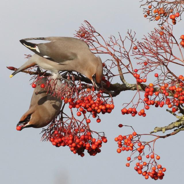 """Waxwings on Winter Berries"" stock image"