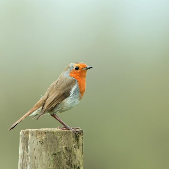 """European Robin"" stock image"