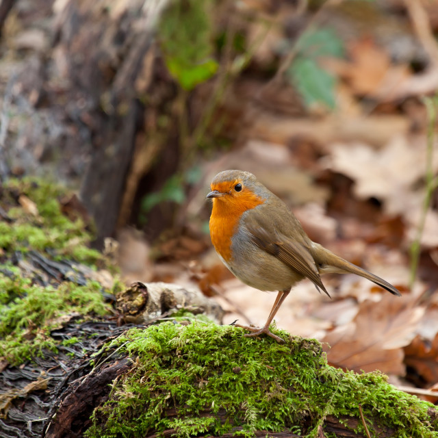"""""""Robin in Woodland"""" stock image"""