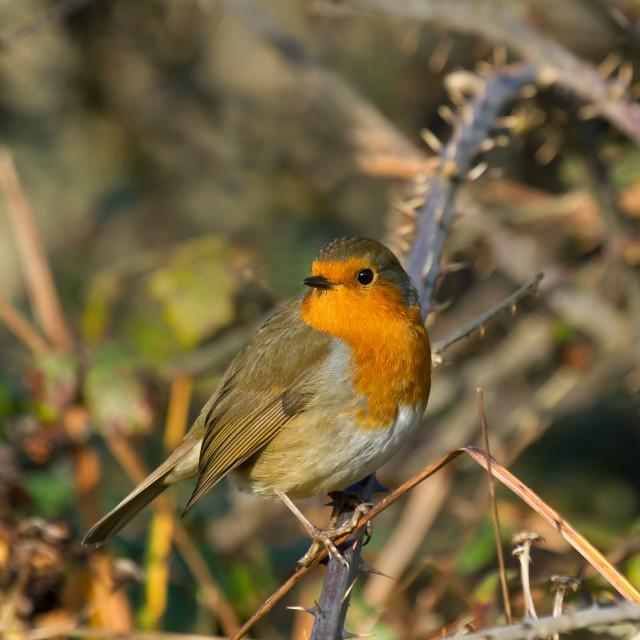 """Robin on Bramble"" stock image"