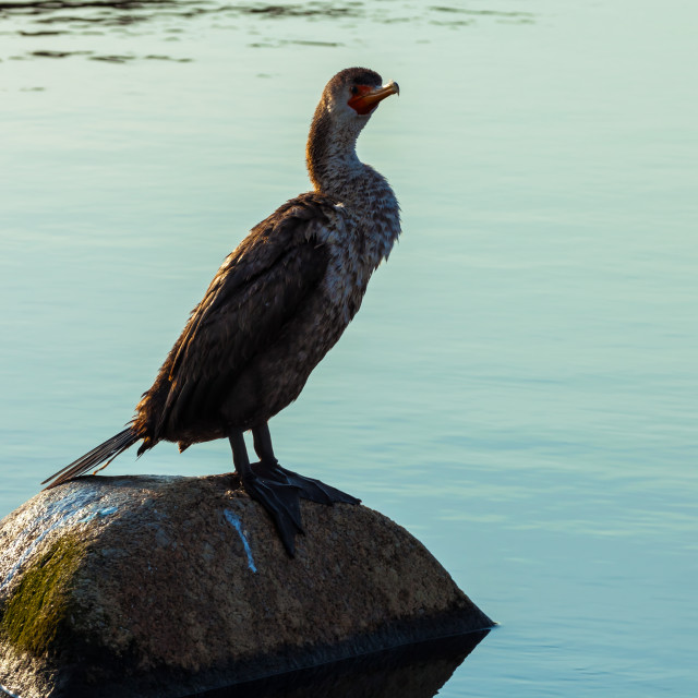 """Juvenile Double-Crested Cormorant 1"" stock image"