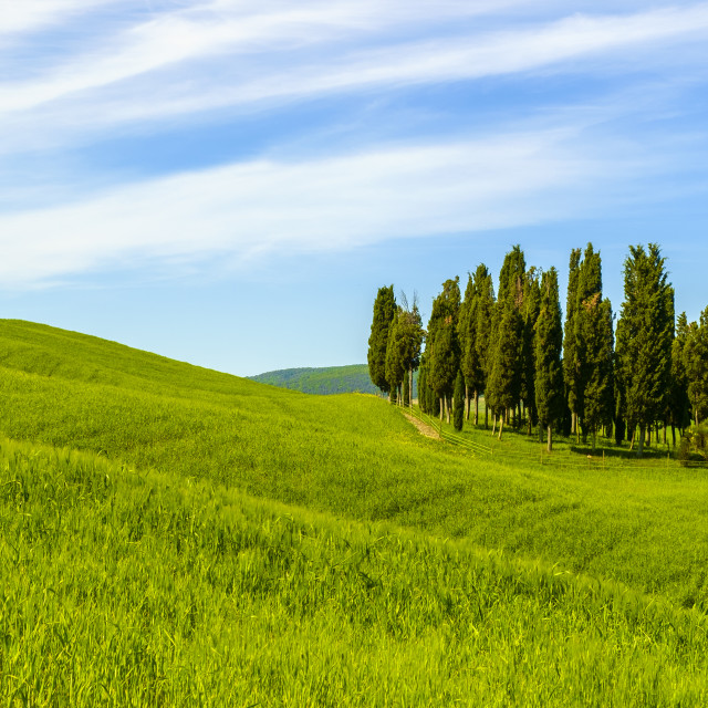 """Cypresses in a landscape in Tuscany Italy"" stock image"