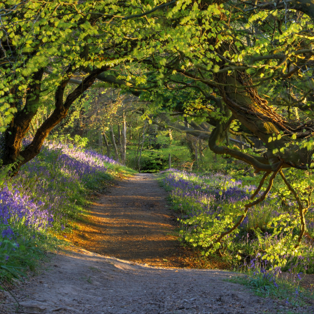 """Bluebells at last light"" stock image"