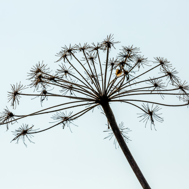 """Dried head of cow-parsley silhouette"" stock image"