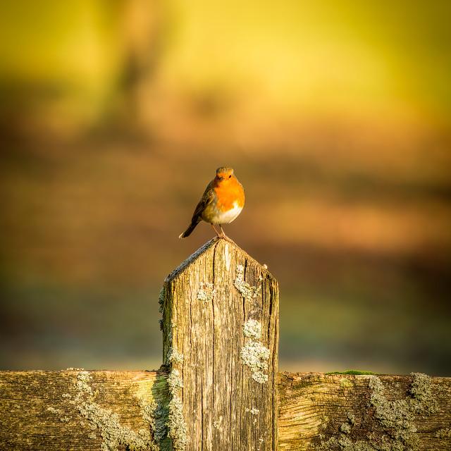 """Resting robin"" stock image"