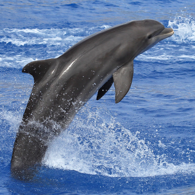"""Leaping Bottlenose Dolphin"" stock image"