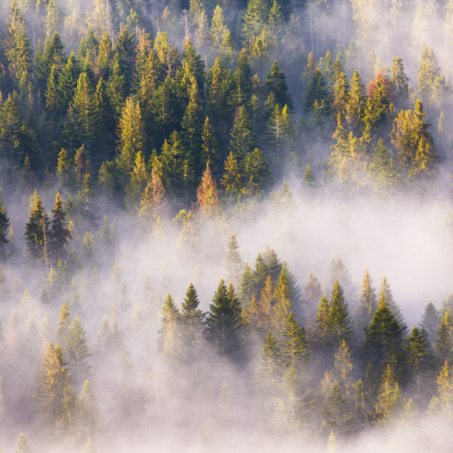 """Morning fog in spruce and fir forest in warm sunlight"" stock image"