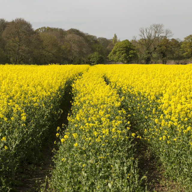 """Wirral Rapeseed Beauty"" stock image"
