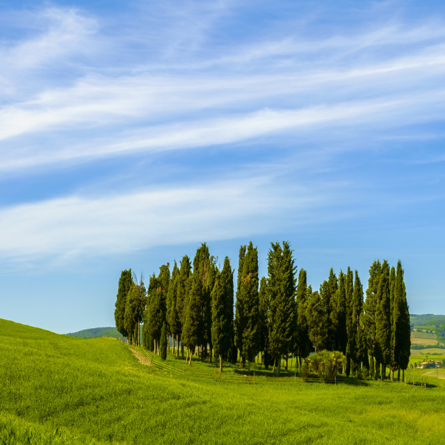 """Cypresses in Tuscany"" stock image"