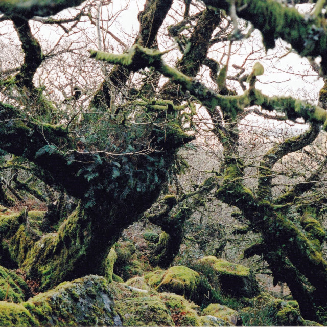 """Wistman's Wood, Dartmoor."" stock image"
