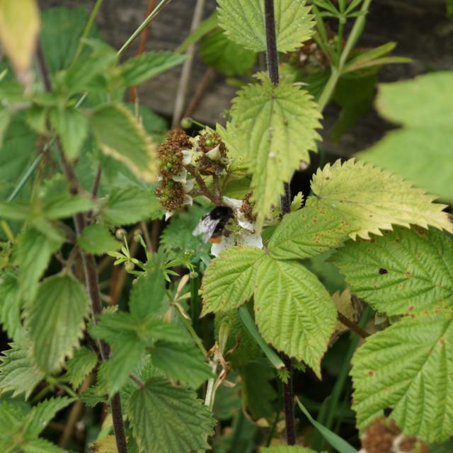 """Red-shanked Bumblebee - Bombus ruderarius"" stock image"