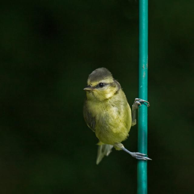 """Blue Tit fledgling on bar"" stock image"