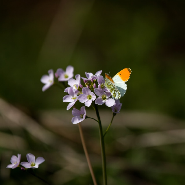 """""""Orange-tip butterfly"""" stock image"""
