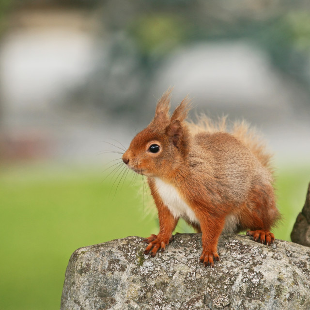 """""""Red Squirrel plucking up courage"""" stock image"""