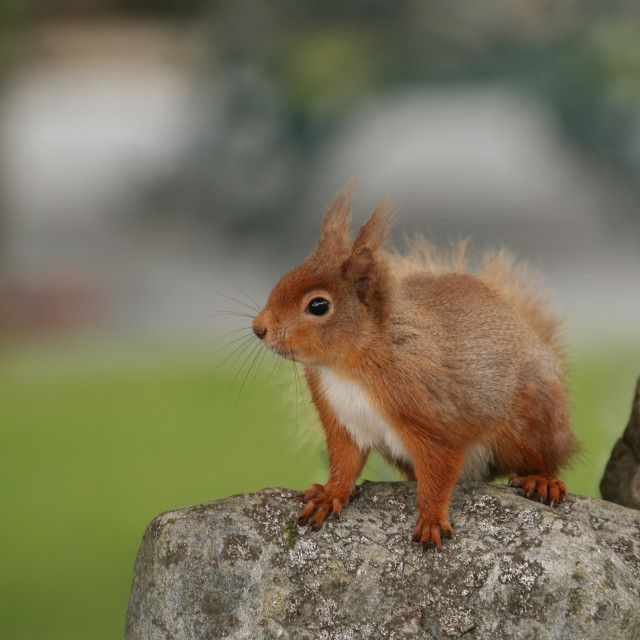 """""""Red Squirrel on Rock"""" stock image"""