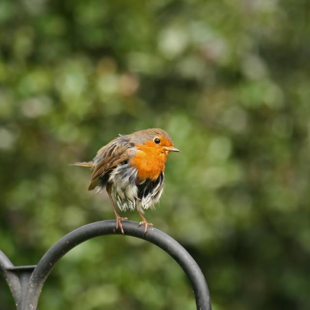"""Ragged Robin"" stock image"