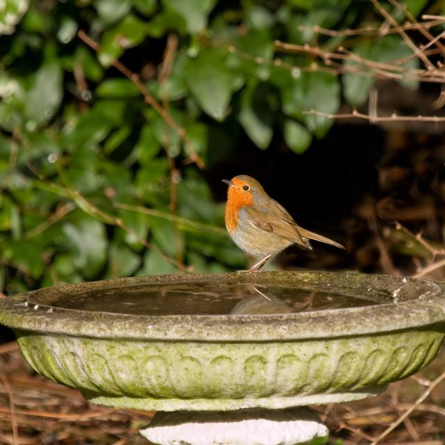 """Robin in sunlight"" stock image"