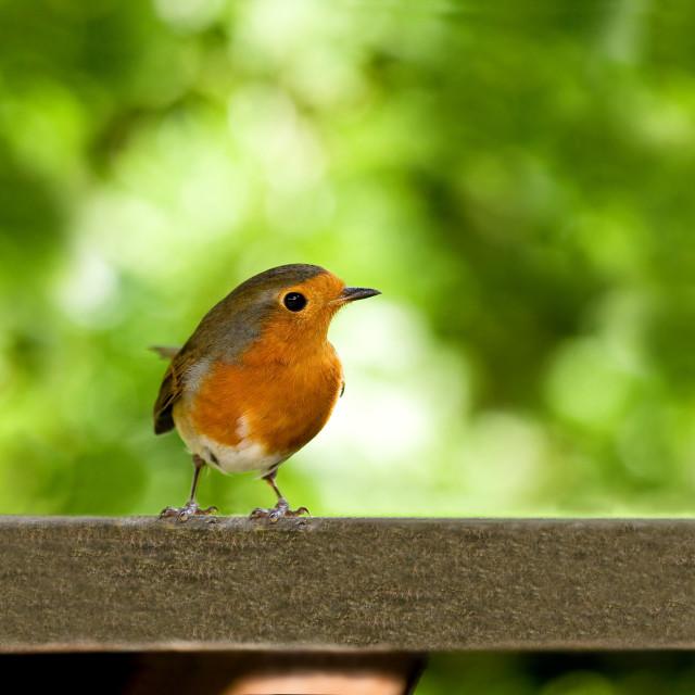 """European Robin on table"" stock image"